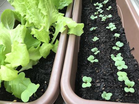 ベランダ菜園、元気に育つミックスリーフとラディッシュ